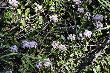 blog 58 Klamath Basin, Klamath Falls, Fremont-Winema NF, Lilac?, S. OR_DSC3127-5.11.16.(2).jpg