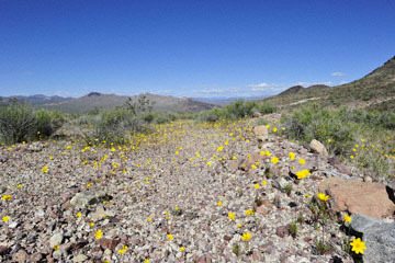 blog 14 Beaty, NV to Death Valley, CA~374W-190E, Corkscrew Peak to Badwater Basin, Salsbury Pass, Coreopsis, CA_DSC8018-5.23.17.jpg