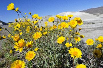 blog (6x4@300) Yoko 14 Beaty, NV to Death Valley, CA~374W-190E, Corkscrew Peak to Badwater Basin, Salsbury Pass to 178S Shoshone, Desert Sunflower, CA_DSC8034-3.23.17.jpg