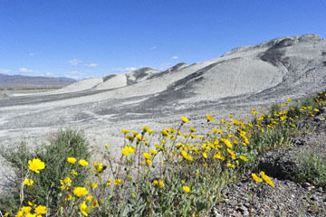 blog 14 Beaty, NV to Death Valley, CA~374W-190E, Corkscrew Peak to Badwater Basin, Salsbury Pass to 178S Shoshone, Desert Sunflower, CA_DSC8037-3.23.17.jpg