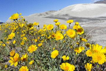 blog 14 Beaty, NV to Death Valley, CA~374W-190E, Corkscrew Peak to Badwater Basin, Salsbury Pass to 178S Shoshone, Desert Sunflower, CA 2_DSC8033-3.23.17.jpg