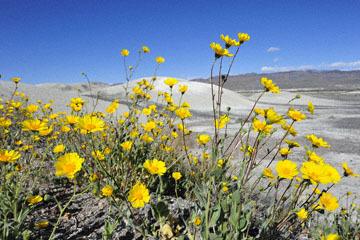 blog 14 Beaty, NV to Death Valley, CA~374W-190E, Corkscrew Peak to Badwater Basin, Salsbury Pass to 178S Shoshone, Desert Sunflower, CA_DSC8030-3.23.17.jpg