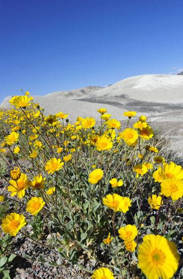 blog 14 Beaty, NV to Death Valley, CA~374W-190E, Corkscrew Peak to Badwater Basin, Salsbury Pass to 178S Shoshone, Desert Sunflower, CA_DSC8031-3.23.17.jpg