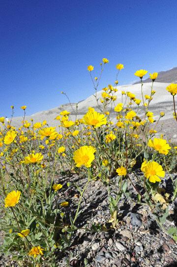 blog 14 Beaty, NV to Death Valley, CA~374W-190E, Corkscrew Peak to Badwater Basin, Salsbury Pass to 178S Shoshone, Desert Sunflower, CA_DSC8027-3.23.17.jpg