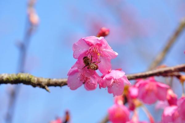 6河津桜190115