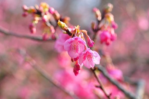 4河津桜190115