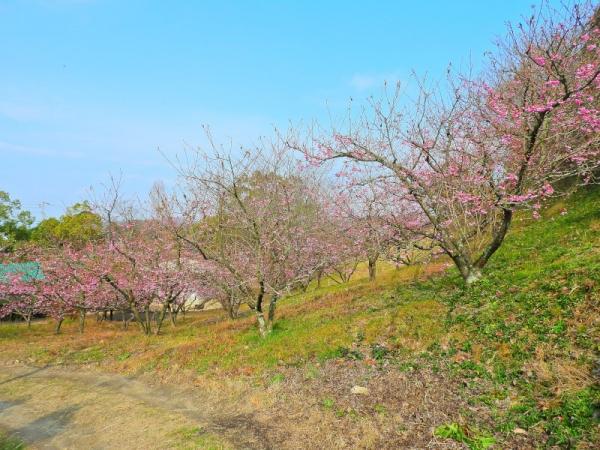 1河津桜190115