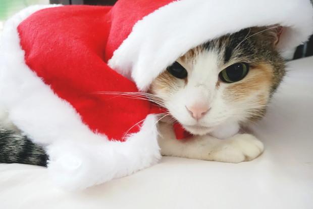 2018年・クリスマス・愛猫サンタ①