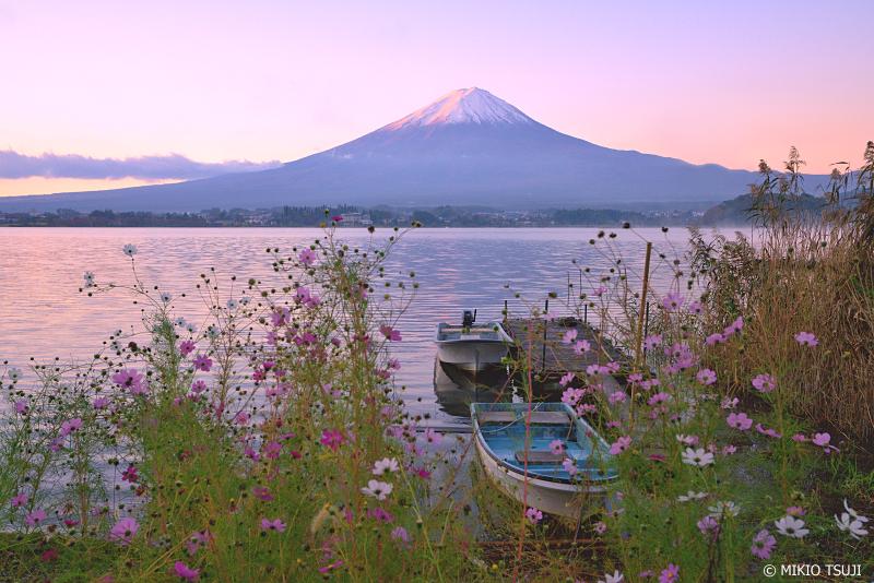 絶景探しの旅 - 0766 富士山と秋桜の朝 (河口湖/山梨県 富士河口湖町)